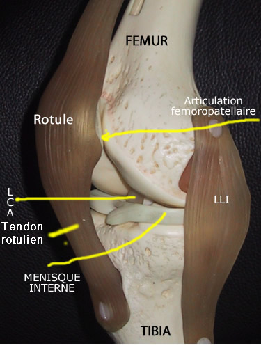 ligament lateral interior interior al articulației genunchiului