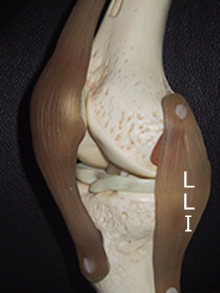 ligament interne du genou